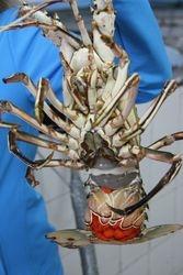 LOBSTERS-palinurus mauritanicus