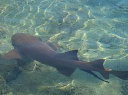 Nurse shark loitering in Staniel Cay marina