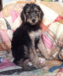 BRYANT:  $995 COMPANION OR $1495 INTACT BREEDING RIGHTS, born 4-21-17 to Giant Airedale Terrier mother, and Royal Standard Poodle father