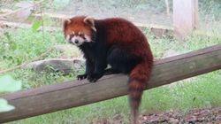 Red Panda at Zoo in Chongquing