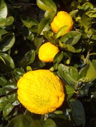 Citrus fruits of Cannero Riviera