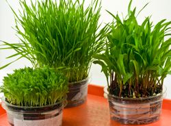Poaceae Family -  3 GRAINS: Millet, Wheat & Corn