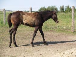 2008 Buckskin colt
