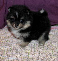 Black&tan with white markings