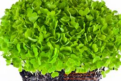 CHINESE CABBAGE microgreens, 7 days since sown