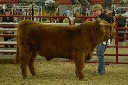 CBS Yaz's Yukon Jack Reserve Grand Champion Bull