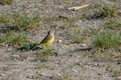 Western Yellow Wagtail (BERGERONNETTE PRINTANIERE)