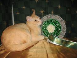 Exotic Cat Show BIS Ped Pet 2011