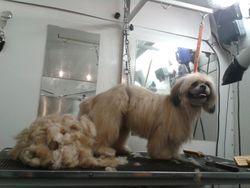 Shih Tzu After grooming