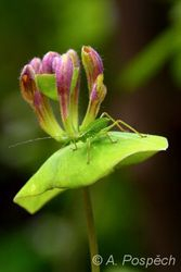 Grashopper, Hungary