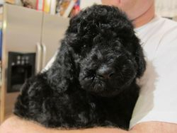 Gunner after a bath and fluff dry.  6 weeks old.