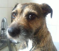 Buddy - Border Terrier x.