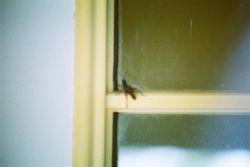 Giant cricket.