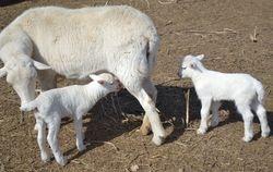St Croix ewe and twins