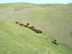 sale bull summer pasture