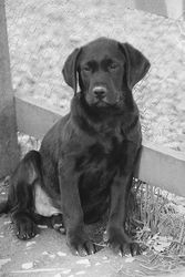 Mr Gibb's as a pup.