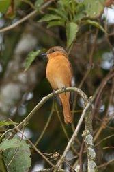 Caneleiro ( Pachyramphus castaneus )