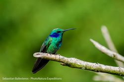 Green violet-ear - Colibri thalassinus