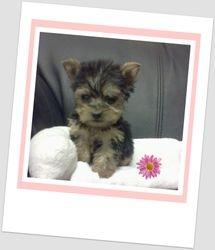 Extra Tiny Female Pup Born 5/9/2011