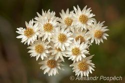 Asteraceae, Highlands