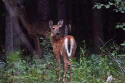 White Tail Deer