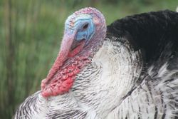 Royal Palm Gobbler