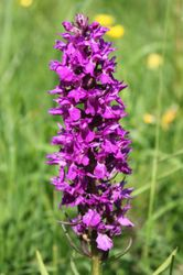 wild orchids in the meadow 31st May 17
