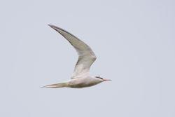Common Tern (Sterne pierregarin)