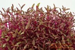 Amaranthaceae Family - Red Garnet AMARANTH