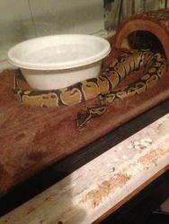 Bella the snake