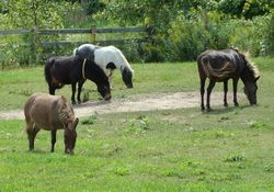 Mules and minature horses