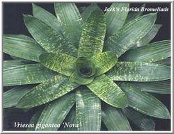 Vriesea gigantea 'Nova' $35.00