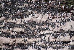 Common Mures and Kittiwakes at Witless Bay Island Reserve