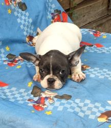BeBe: $2895 companion after $300 spay binder rebate, female, AKC French Bulldog, born 4-15-17 to Berry Pie and Geronimo