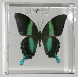 Papilio blumei-Jade Swallowtail