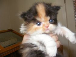 Tortie Bi-colour persian, red blaze