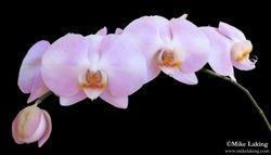 Orchid - Mauve