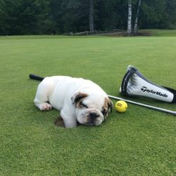 Pup and golf