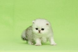 "Shaded Silver Persian Boy ""Monet"""
