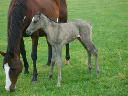 Grullo Filly 2012