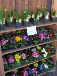 Mini Daffs and Primulas