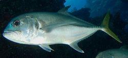 CREVALLE (JACK FISH)