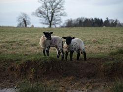 Lambs watch us watching them!