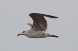 Yellow-legged Gull  -  GOELAND LEUCOPHEE