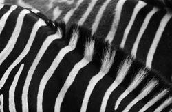 Zebra Detail 1