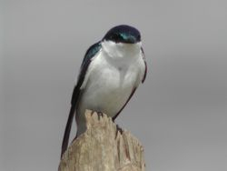 White-winged Swallow  (Hirondelle à ailes blanches)
