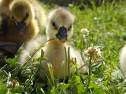 April 28 Brown Chinese Gosling