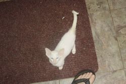 Redpoint Kitten