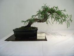 Taxodium Mucronata