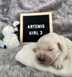 Artemis - Female - Pink Collar
